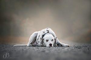 Hundefotografie Saarland – Dalmatiner Grisu