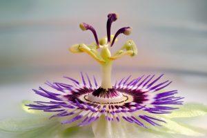 passiflora_1