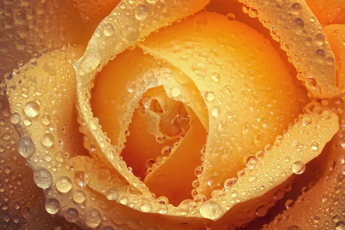 rose_tropfen
