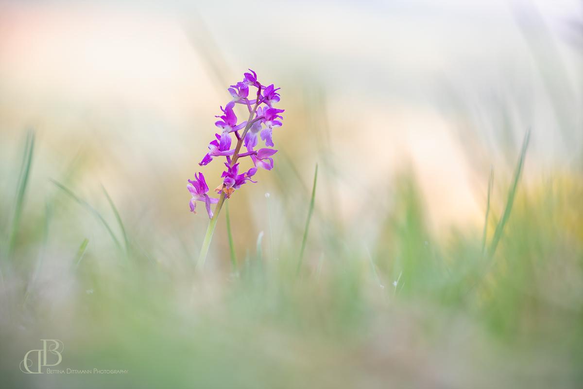 Orchis mascula - männliches Knabenkraut 1