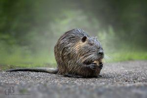 Wildlife Fotografie – Nutria in der Pfalz