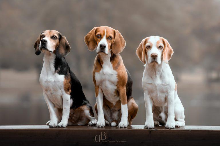 Die Beagles sind los
