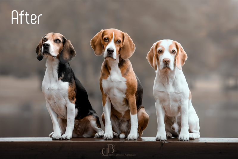 beagles_trio_after