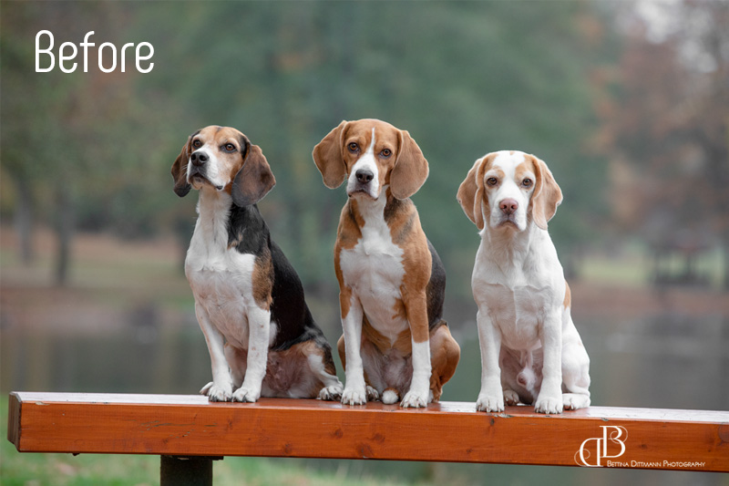 beagles_trio_before
