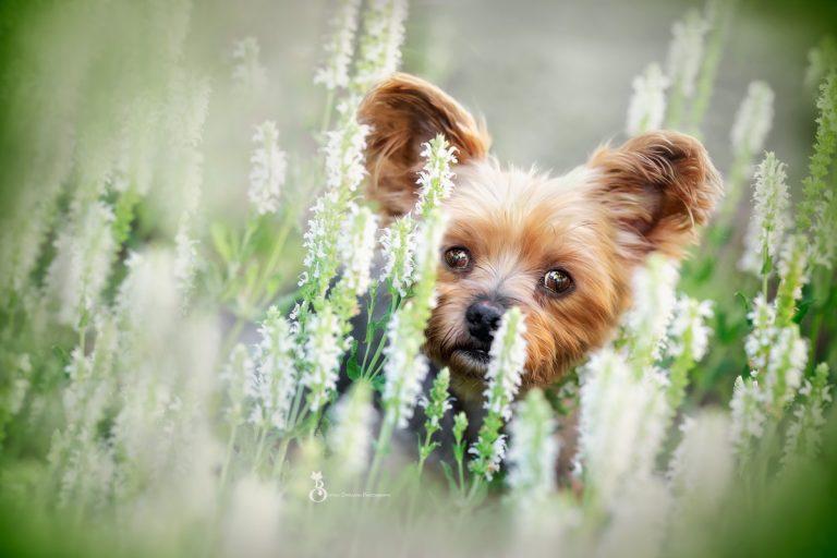 Myco – der kleine Yorkshire Terrier
