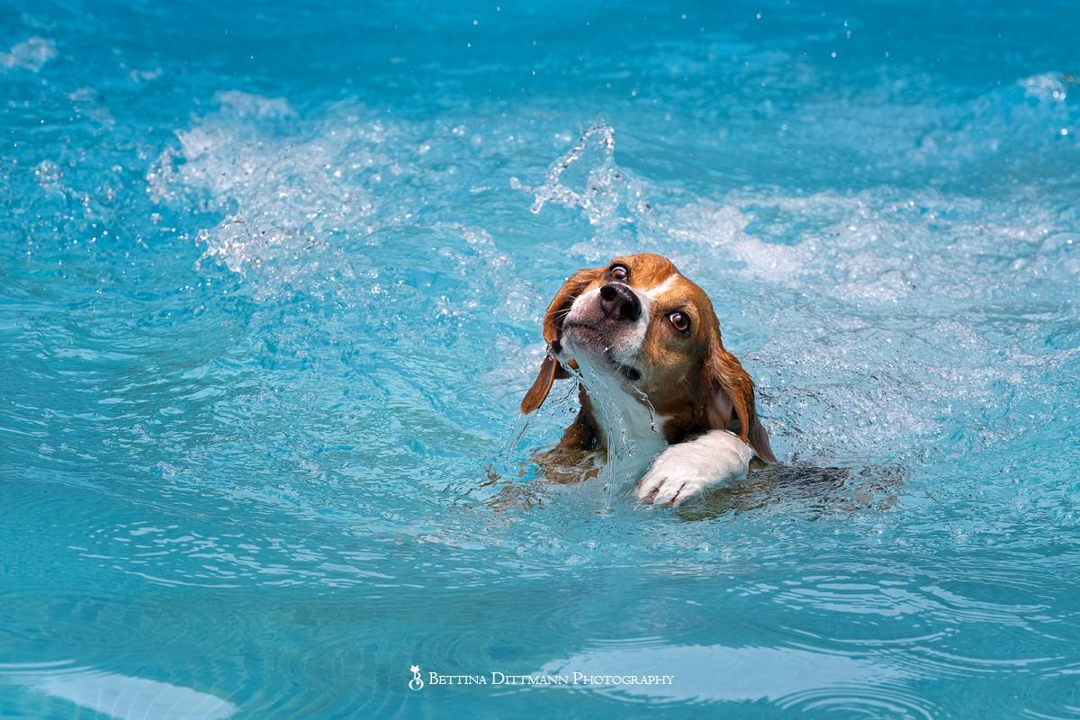 beagle-8112_web